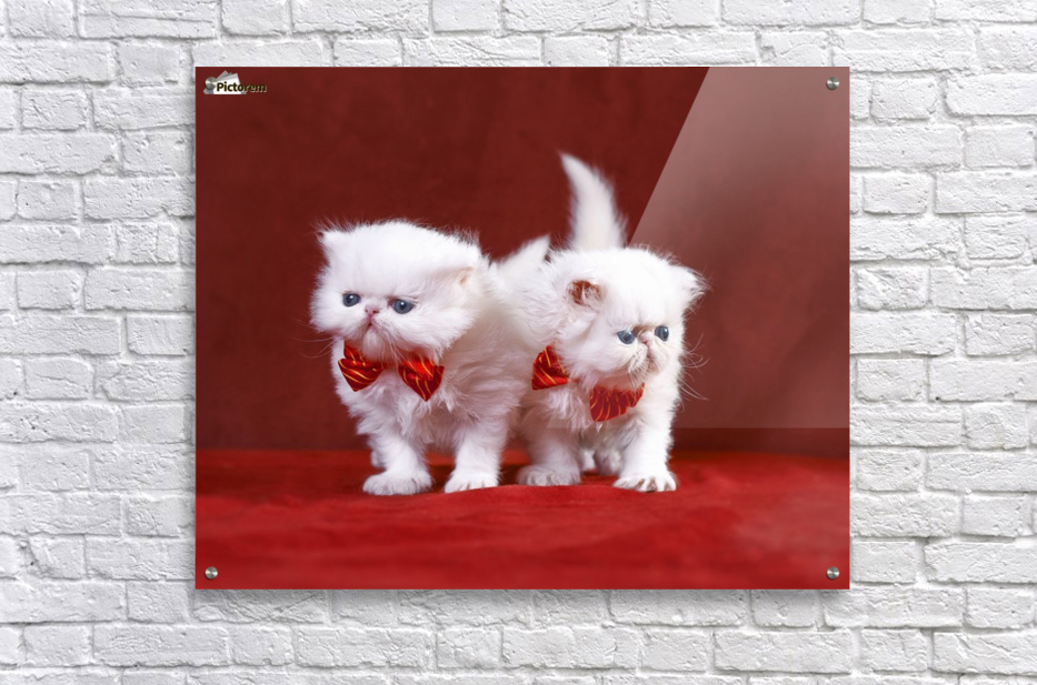 White Persian Kittens with bow ties  Acrylic Print