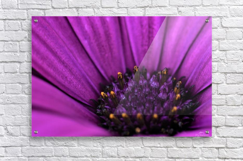 Purple Osteospermum Daisy Photograph Macro  Acrylic Print