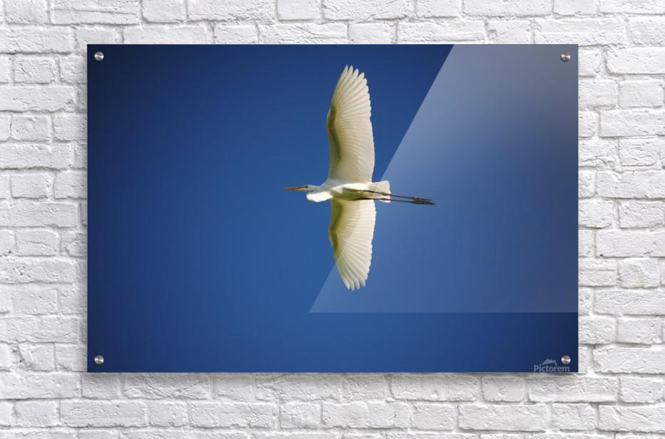 Egret Sailing Above  Acrylic Print