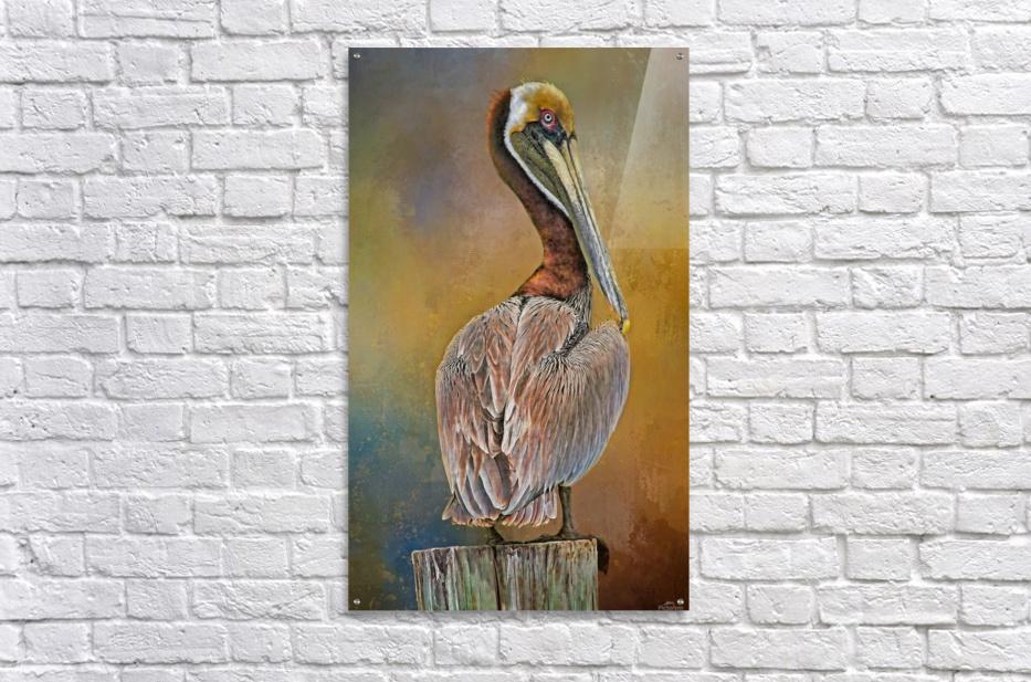 Brown Pelican In Breeding Plumage  Acrylic Print