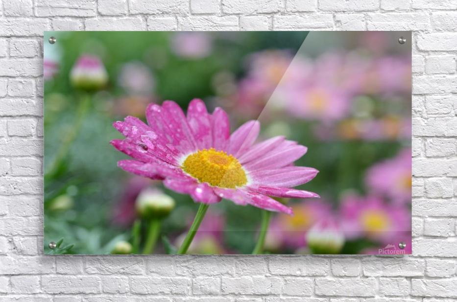 Pink Flower Photograph  Acrylic Print