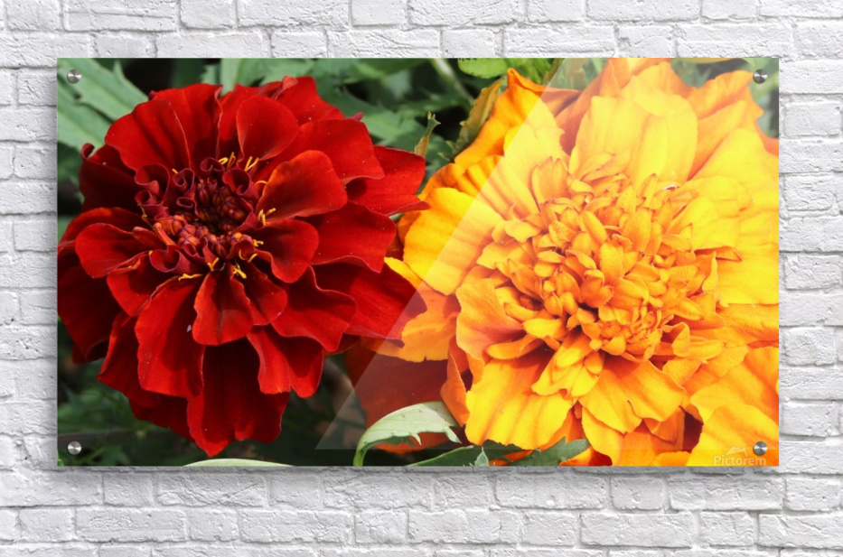 Red and Yellow Marigolds 062718  Acrylic Print