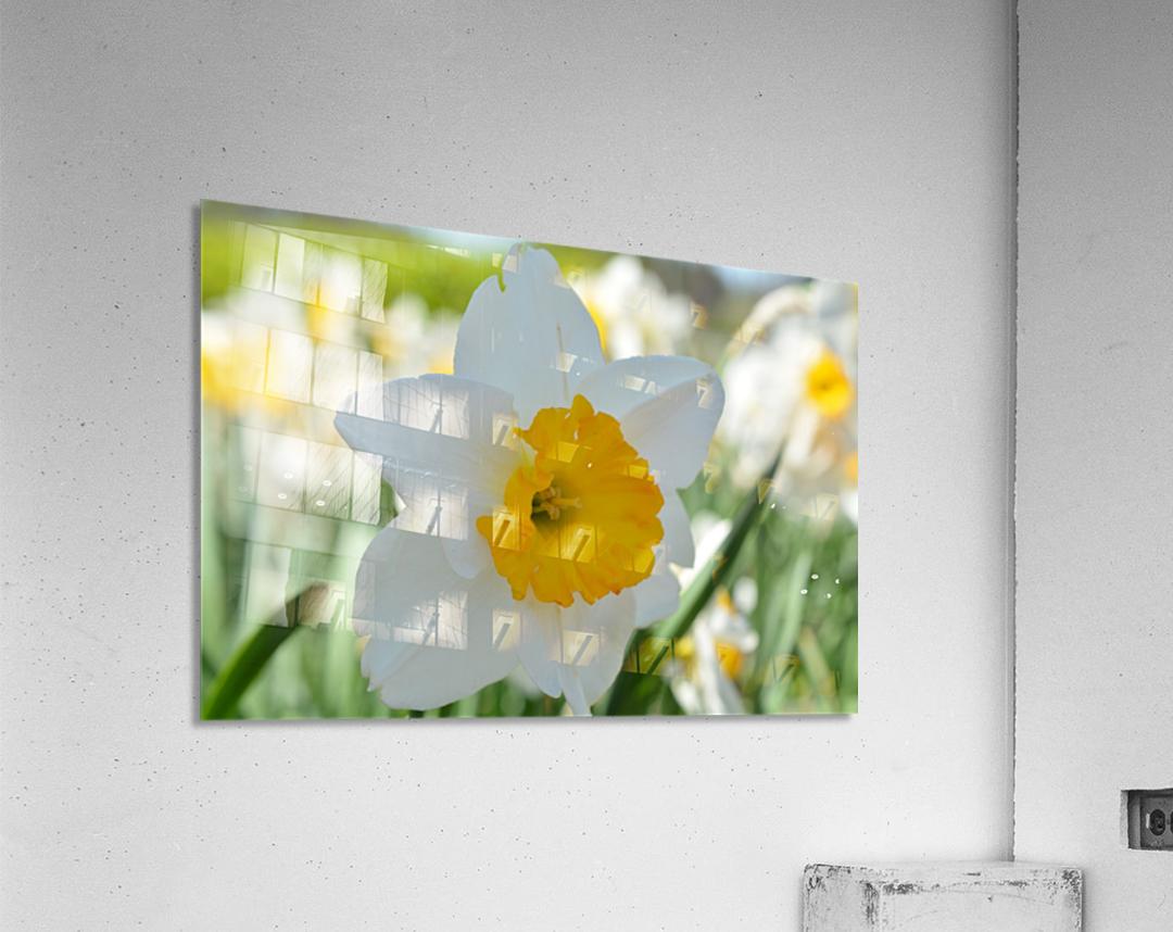 White Daffodil Photograph  Acrylic Print