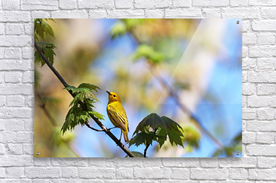 Yellow Warbler In Maple Tree  Acrylic Print