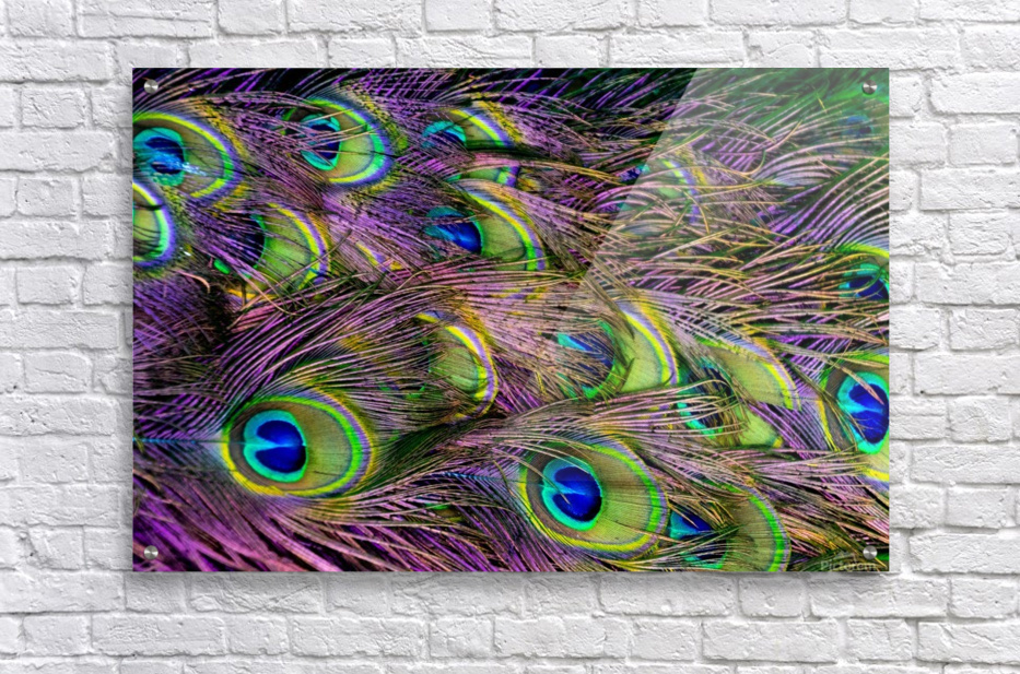 green purple and blue peacock feather digital wallpaper  Acrylic Print