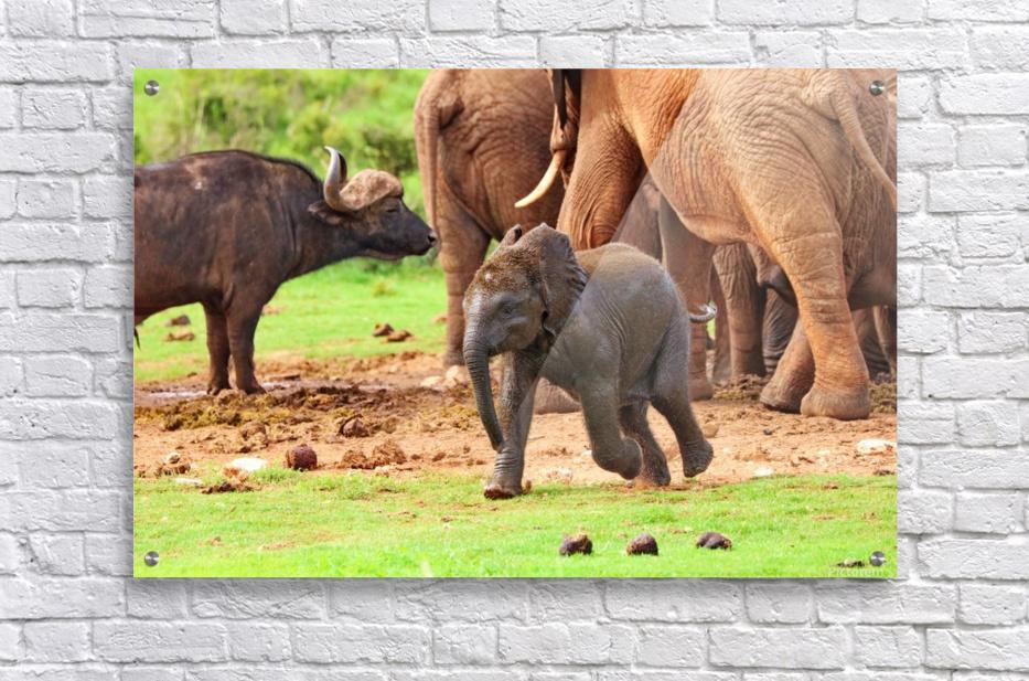 Elephant Baby 582  Acrylic Print