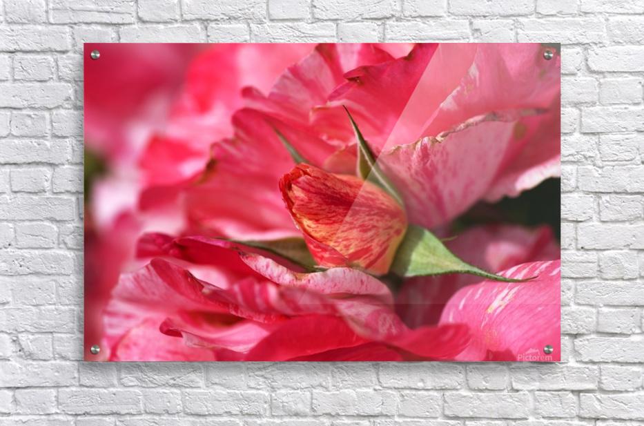 Rose Bud On My Petals  Acrylic Print