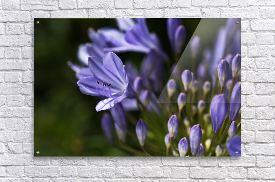 Agapanthus Blue  Acrylic Print