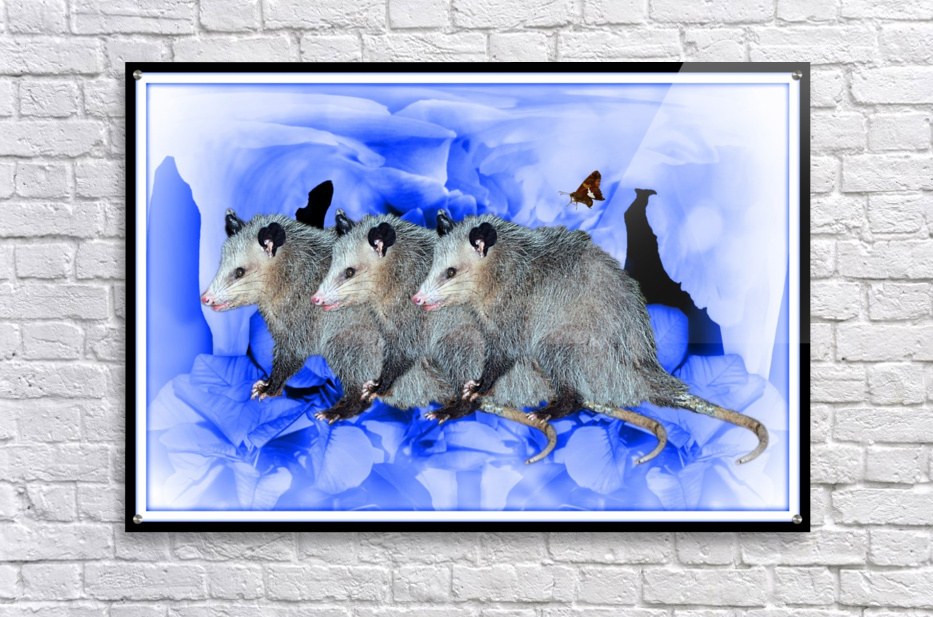 Party Of Possums  Acrylic Print