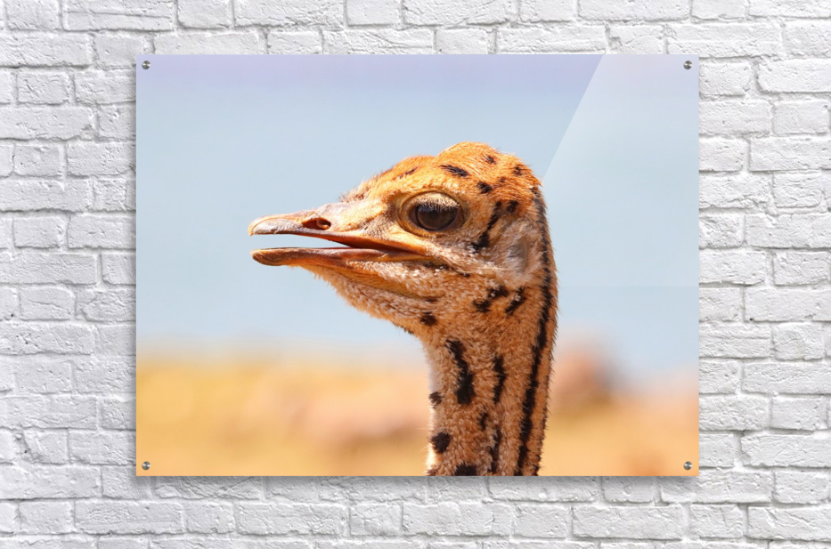 Baby Ostrich 5378  Acrylic Print