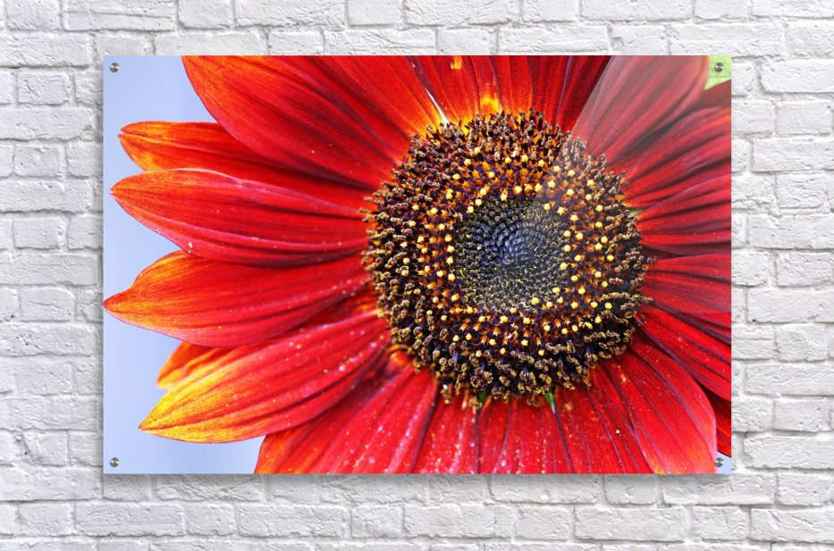 Ruby Red Sunflower  Acrylic Print
