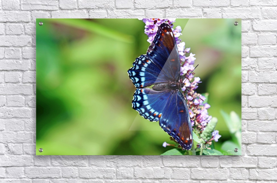 Red Spotted Purple Beauty  Acrylic Print