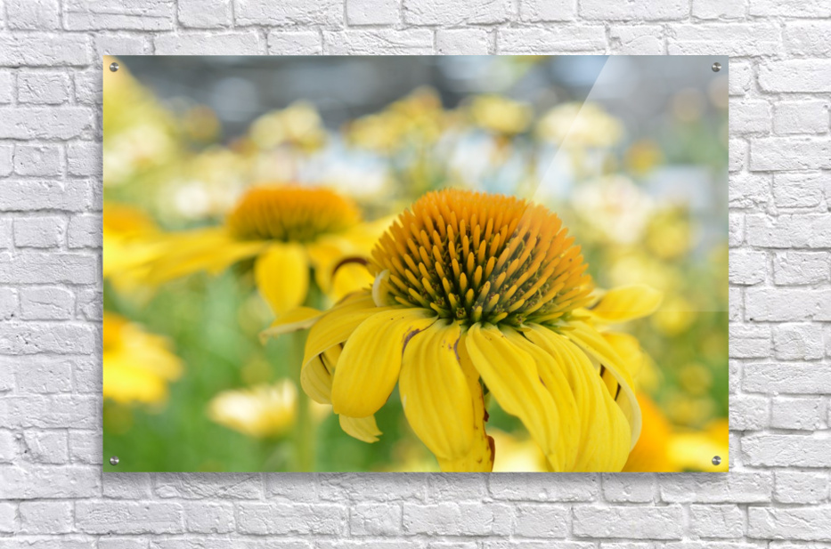 Yellow Flowers Photography  Acrylic Print