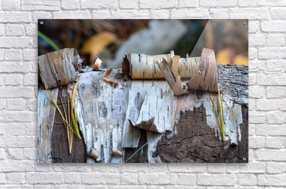 Fallen Birch  Acrylic Print