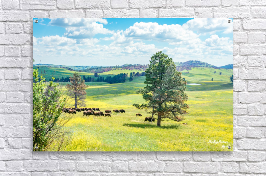 Custer State Park Bison  Acrylic Print