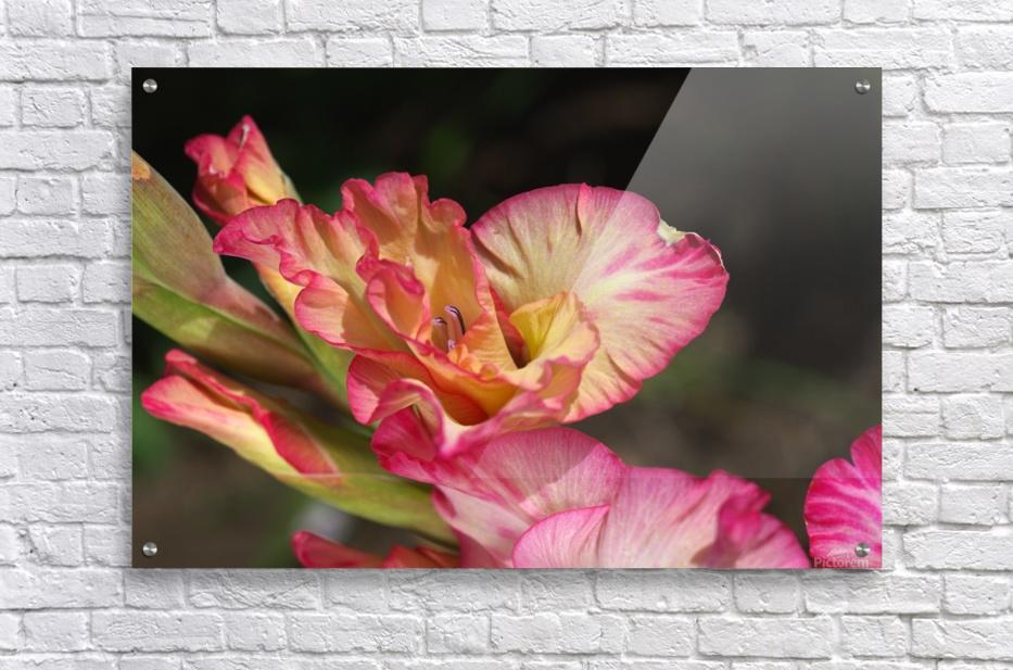 Gladiolus Display  Acrylic Print