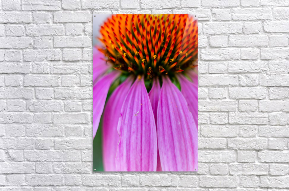 Treat a Cold  Acrylic Print