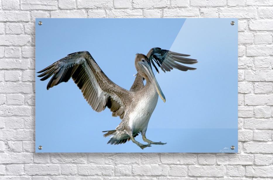 Arriving: Brown Pelican  2509  Acrylic Print