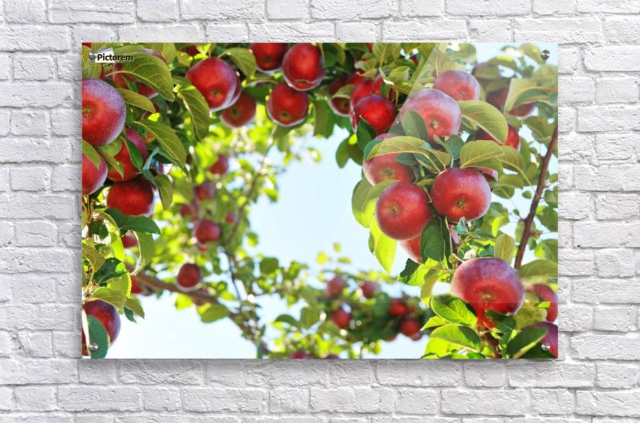 Apples Orchard- Harvest  Acrylic Print