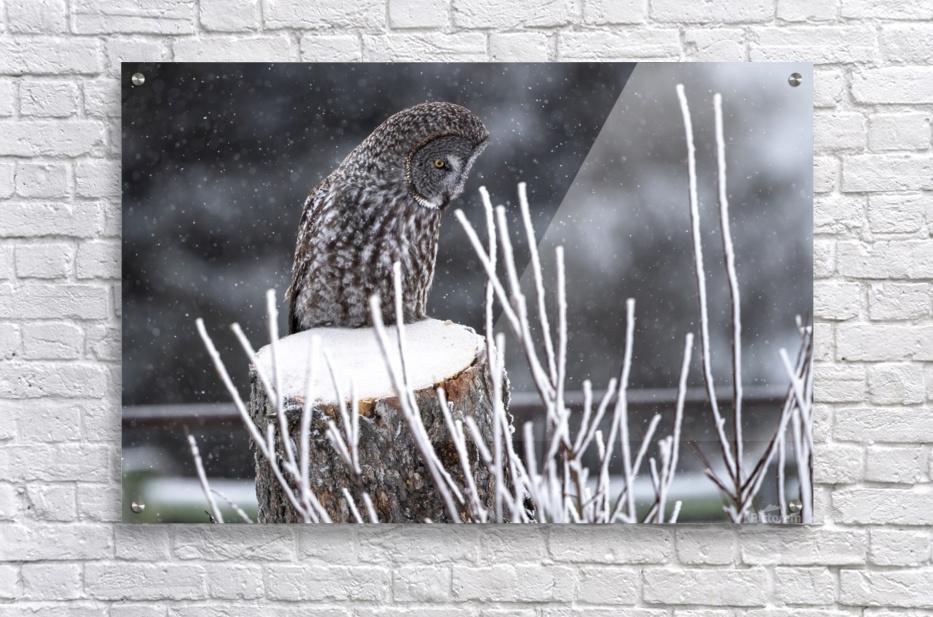 Great Grey Owl - Hunting at sunset.   Alberta Canada  Acrylic Print