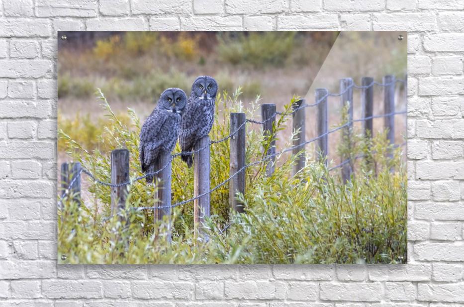 Seeing double - Great Grey Owl  Acrylic Print