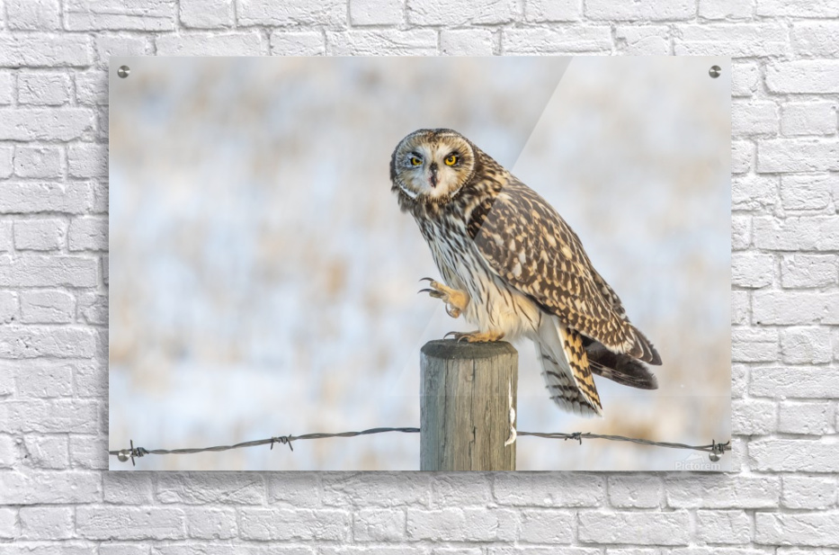 Short Eared Owl - Just an Itch  Acrylic Print