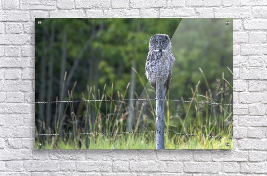 Great Grey Owl - Henry  Acrylic Print