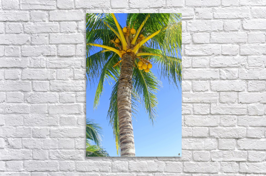 Palm Tree and Coconuts  Acrylic Print