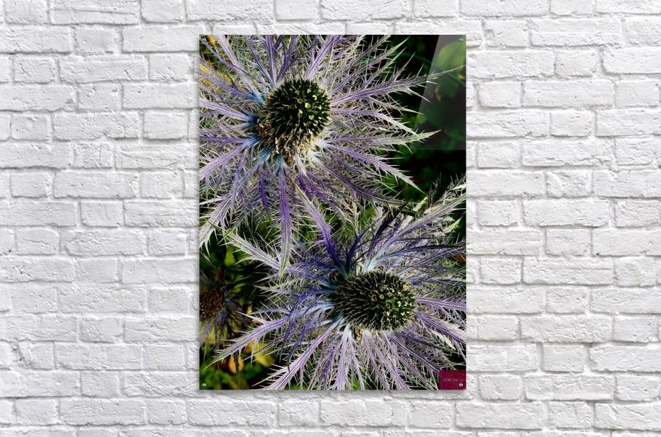 Sea Holly  Acrylic Print