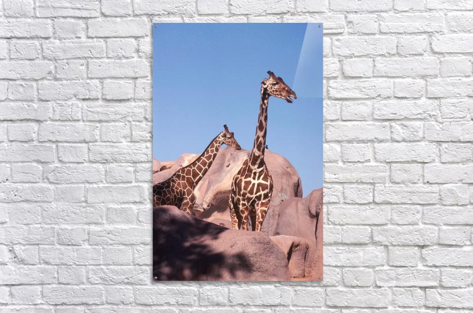 Giraffe Photograph  Acrylic Print
