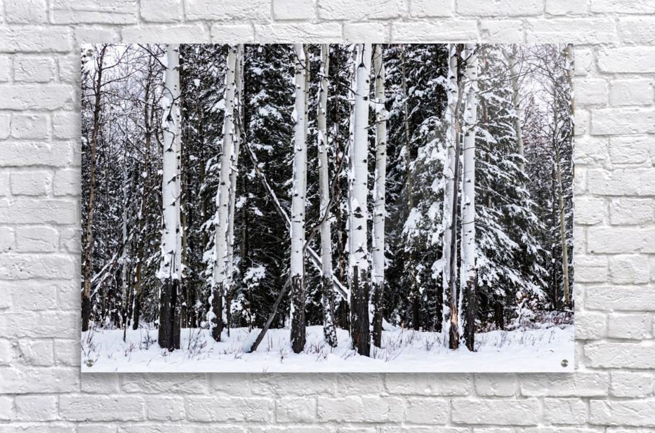 Aspens Snow Blanket Banff National Park  Acrylic Print