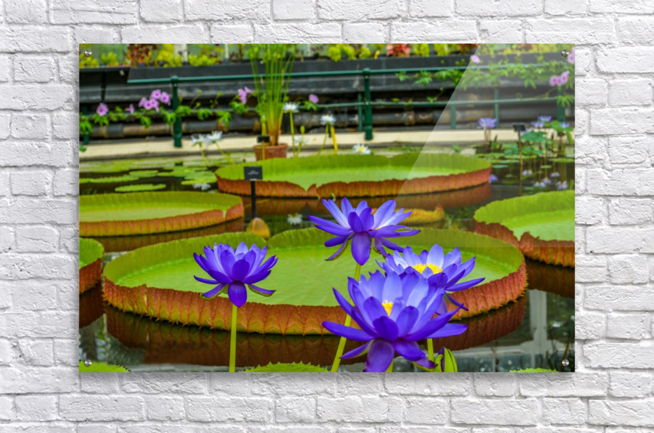 Purple water lily in a pond  Acrylic Print