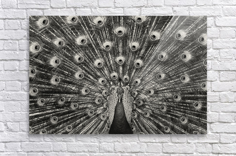 peacock 003bw  Acrylic Print