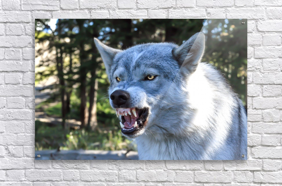 Wolf Dog Snarling  Acrylic Print