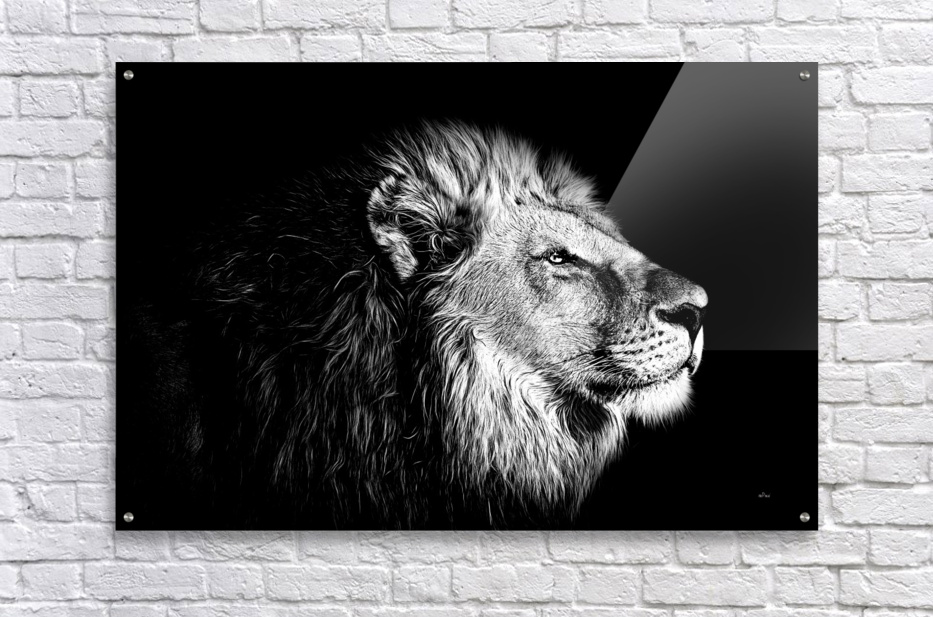 Lion with Attitude  Acrylic Print
