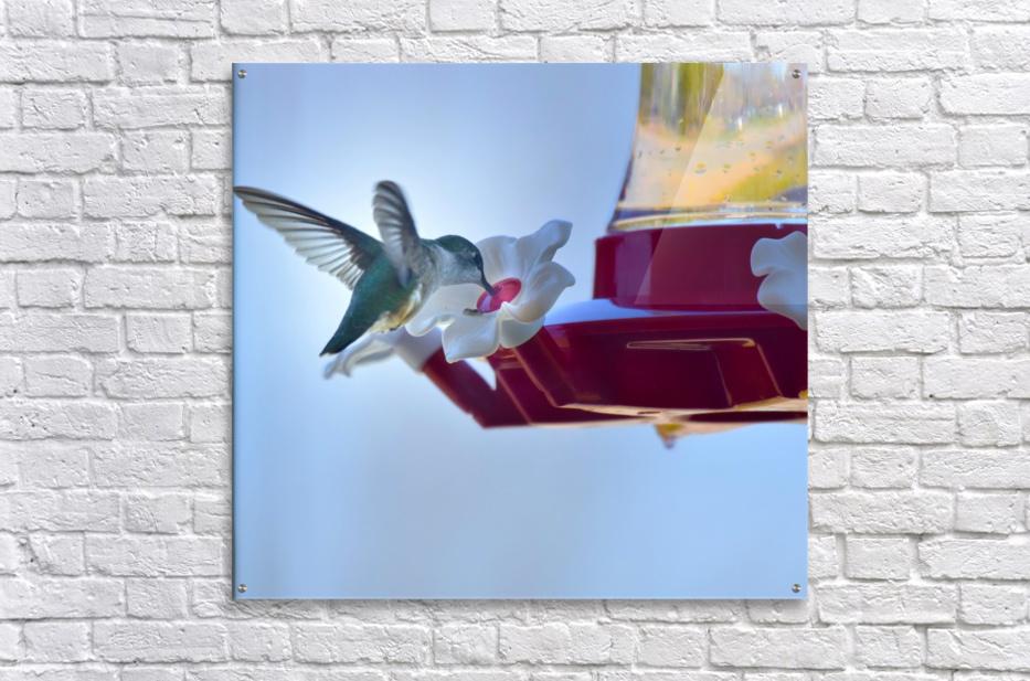 Oiseau-mouche  Impression acrylique