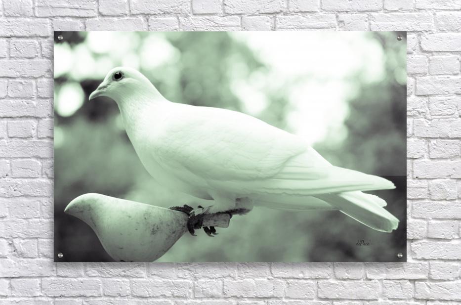 Dove enjoying a meal  Acrylic Print