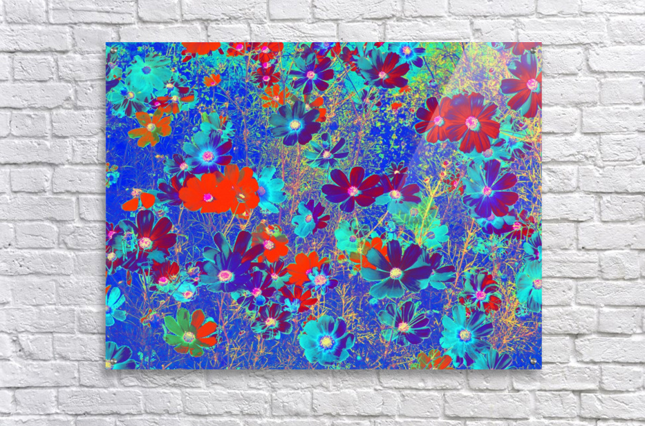 Cosmos Flowers Blue Red  Acrylic Print
