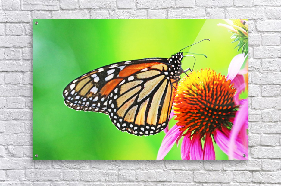 The Beauty Of The Monarch Butterfly  Acrylic Print