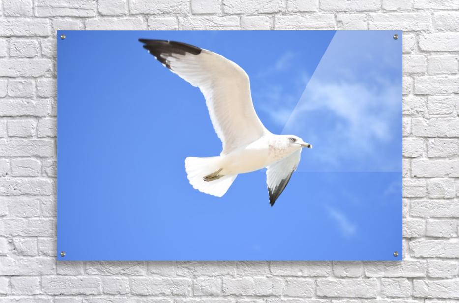 Seagull Overhead  Acrylic Print