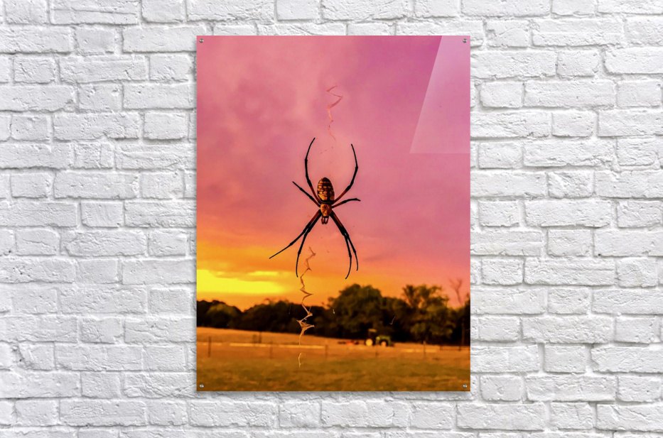 Banana Spider in Cat Spring TX  Acrylic Print