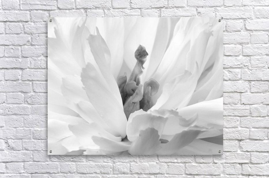 Peony III Black and White  Acrylic Print
