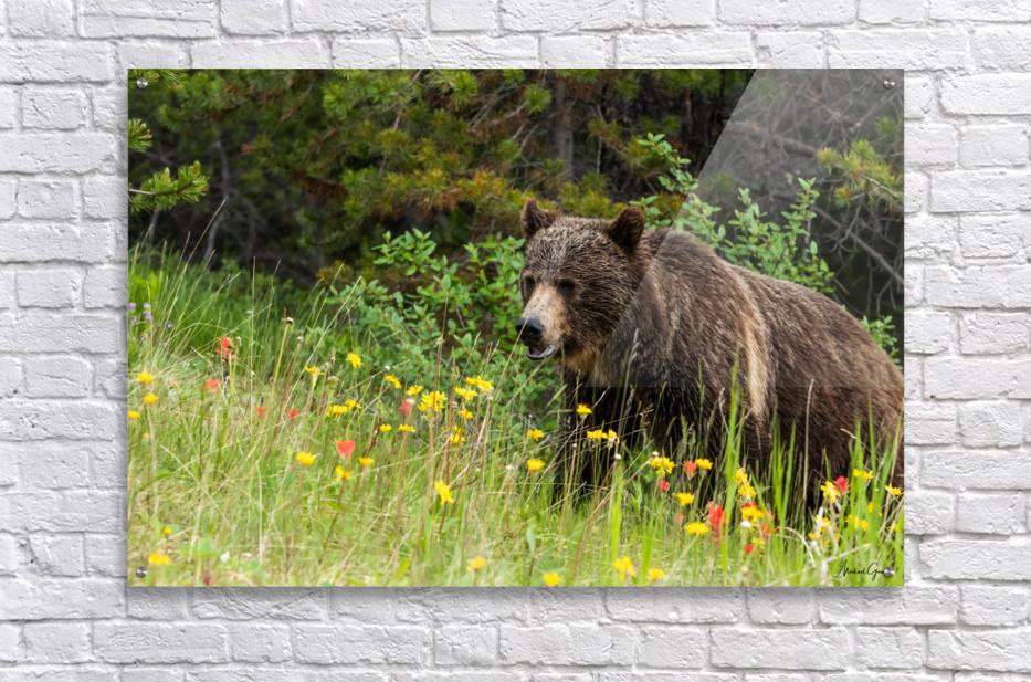 Grizzly Bear Sow 142  IMG_5130  Acrylic Print