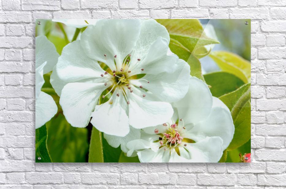 Pear Blossom - No. 1  Acrylic Print