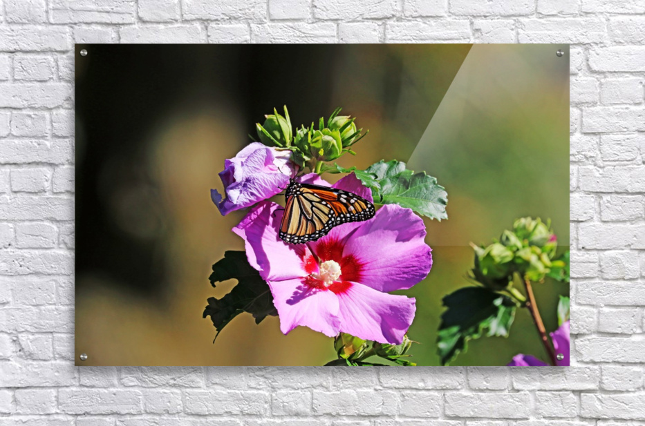 Monarch And Rose Of Sharon  Acrylic Print