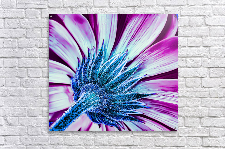 Back Brilliant Pink  Acrylic Print