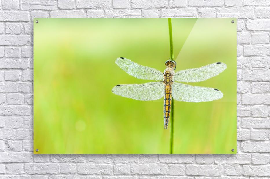 An Fire dragonfly  Acrylic Print