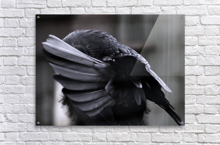 La corneille  Acrylic Print