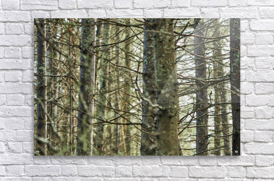 Trees in forest Mauricie National Park Quebec Canada  Acrylic Print