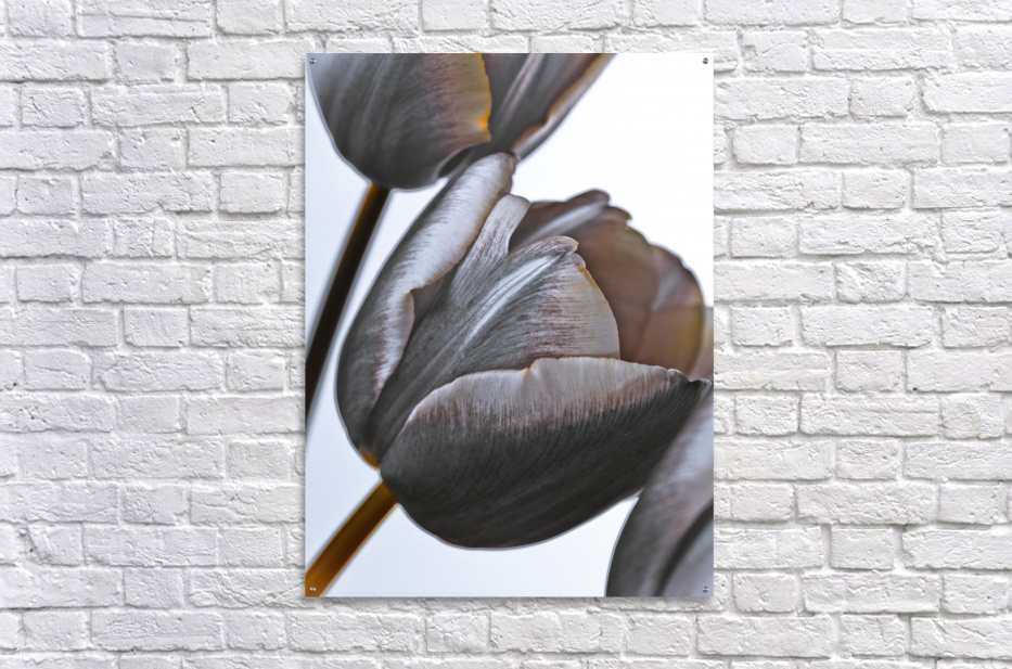 Tulip flowers on white background  Acrylic Print